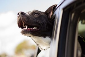 Pet traveling by a car