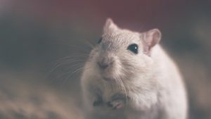 A white rat to watch out for when preparing furniture for storage