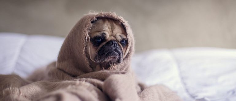 A pug covered with blanket