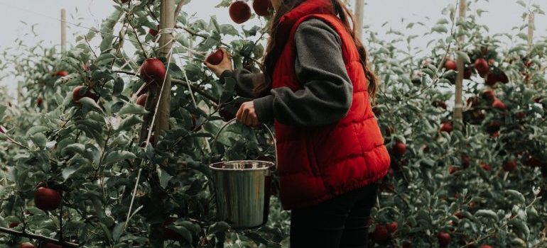 a newcomer picking apples in a Concord orchard